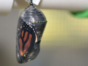Monarch chrysalis dark b 9-27-12